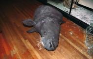 Museo Zoologico: Rubati Corni Di Rinoceronte
